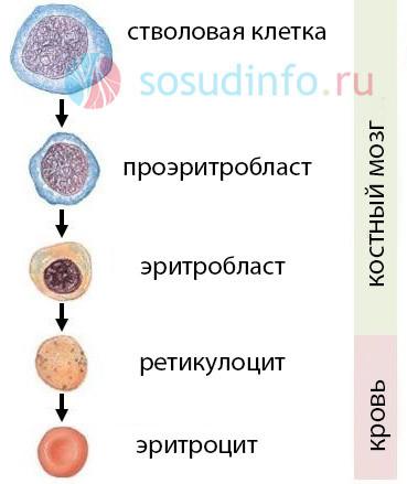 Какова норма ретикулоцитов в крови? Причины отклонения показателя