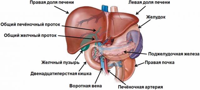 УЗИ печени и желчного пузыря: подготовка и возможные результаты