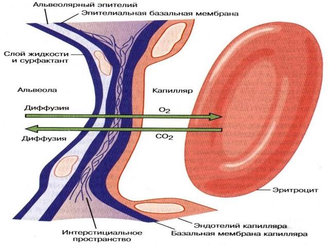 Анализ крови - rbc (эритроциты): подготовка, процедура и расшифровка