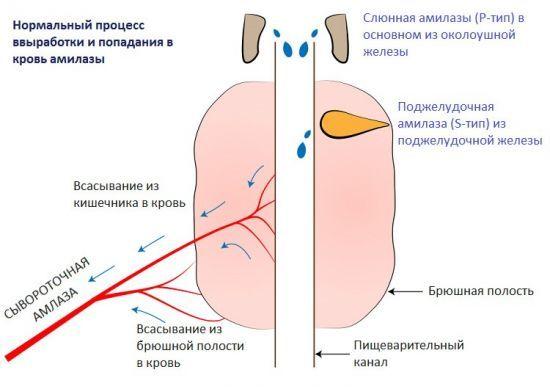 Норма амилазы в крови: описание, функции и расшифровка