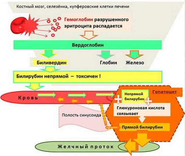 Биохимический анализ крови на АЛТ - назначение, диагностика и расшифровка