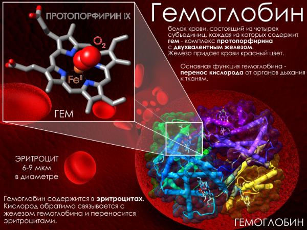 Гемоглобин: значение, обозначение в анализах, норма и отклонение