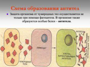 Как вырабатываются антитела и какова их роль в организме?