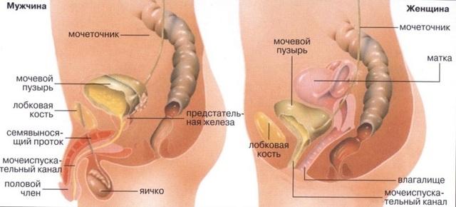 Мочевая (мочевыделительная) система женщины: строение и функции