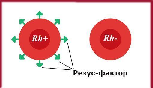 Антиэритроцитарные антитела: значение, разновидности, способ исследования и расшифровка