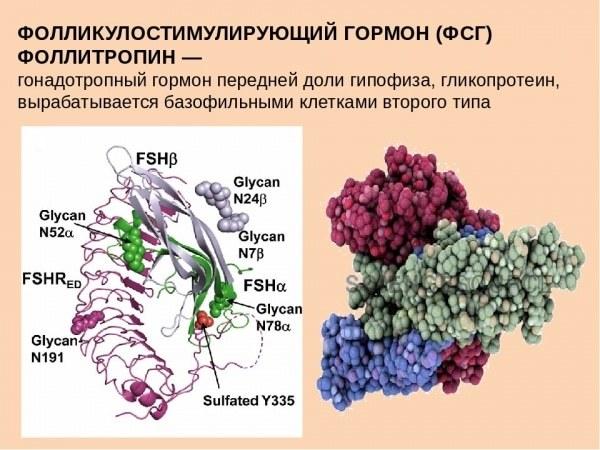 Функции ФСГ у мужчин и женщин и когда нужно сдавать анализ на гормон