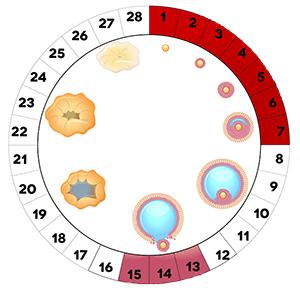 Размер матки: норма по данным УЗИ, строение и функции органа