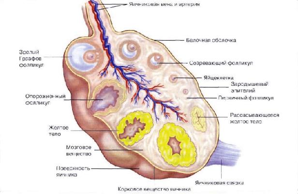 Желтое тело в левом яичнике: значение и особенности развития кисты желтого тела
