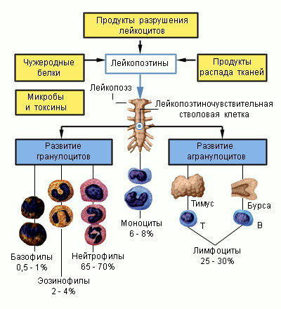 Лейкоциты понижены у ребенка: причины, диагностика и методы нормализации показателя