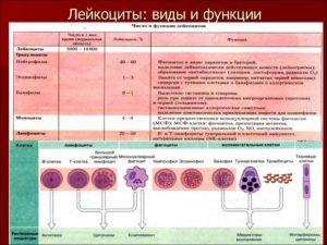 Лейкоциты: какая норма в крови и причины отклонения показателя