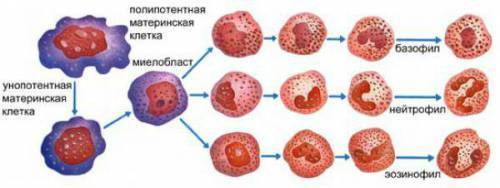 Строение и функции нейтрофилов, диагностика и расшифровка анализа