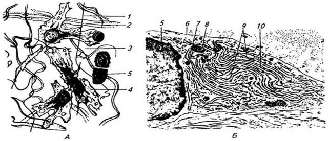 Пластинчатая костная ткань: виды, строение и функции