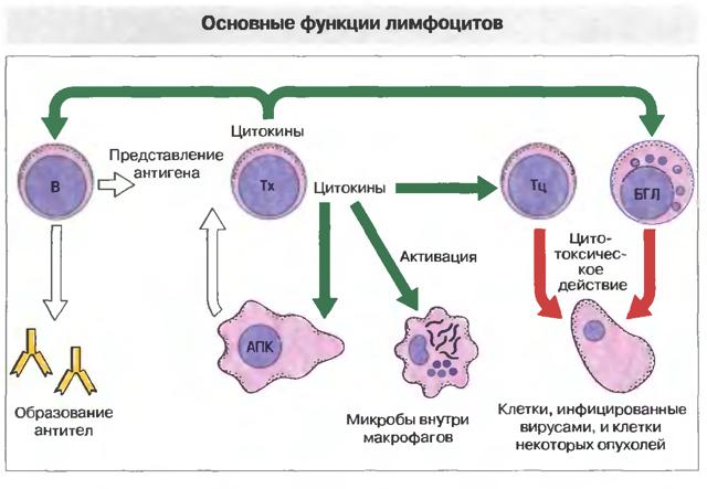 Низкие лимфоциты в крови: причины понижения, симптоматика и лечение лимфопении