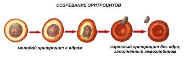 Средний объем эритроцитов: диагностика и расшифровка