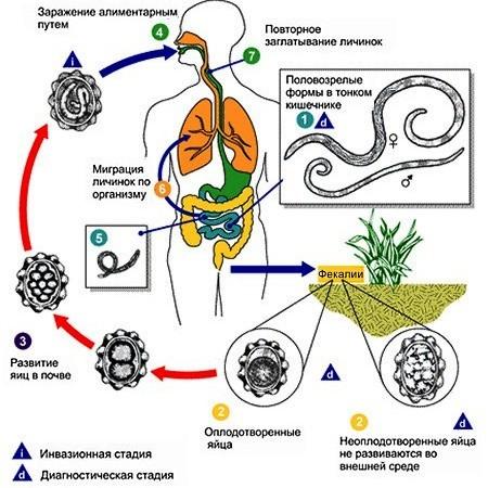 Когда, как правильно и какие анализы нужно сдать на паразитов?