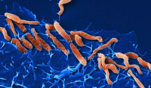 Хеликобактериоз: особенности развития заболевания и схема эрадикации Хеликобактер пилори