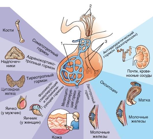Что это такое ФСГ, назначение на анализ, норма гормона и причины отклонения