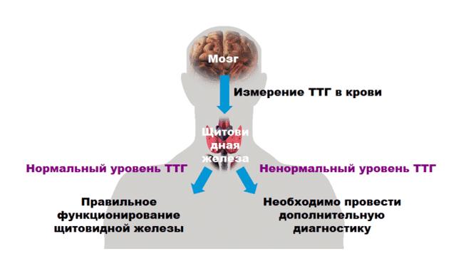 ТТГ ниже нормы - причины и возможные заболевания