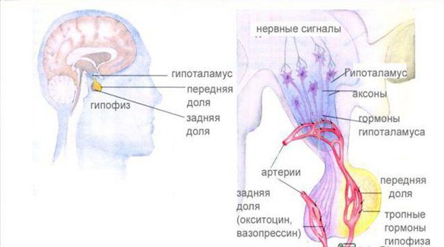 Гормоны гипофиза и гипоталамуса - описание и функции гипоталомо-гипофизарной системы в организме человека
