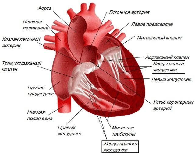 Трабекула в левом желудочке сердца: причины возникновения, признаки, диагностика и лечение