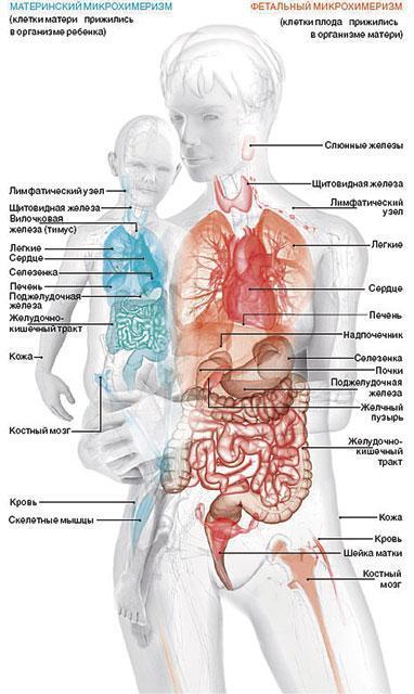 Фетальный микрохимеризм (чужой внутри): связь между беременностью и аутоиммунными заболеваниями, раком молочной железы