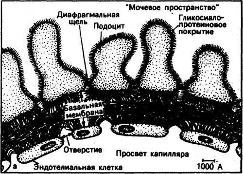 Образование вторичной мочи в организм человека и методы ее исследования